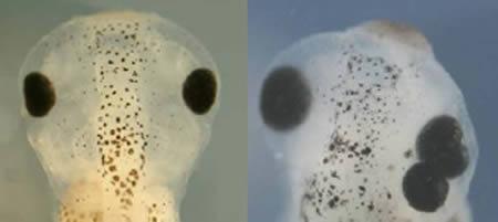 基因转换技术让蝌蚪长出第三颗眼睛